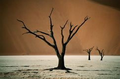 Drought global warming. Dead tree in Namibia, Africa stock photo