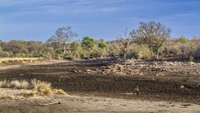 Drought landscape in Kruger National park, South Africa. Dry season in Satara area in Kruger national park, South Africa royalty free stock photo