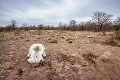 Drought landscape in Kruger National park, South Africa. Letaba in Kruger National park, South Africa stock photography