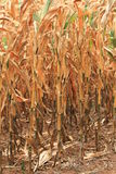 Drought leaves dry corn Stock Photos