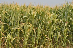 The drought  Maize  Stock Image