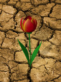 Drought-resistant flower. Single, drought resistant flower, on a dry, cracked ground Stock Photos