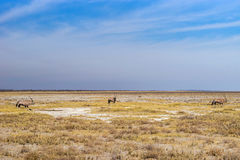 Drought savannah of Etosha National Park. In dry season with oryx, or gemsbok, antelopes Oryx gazella. Namibia, Africa stock image
