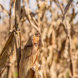 Drought Stricken Corn Field Stock Photography