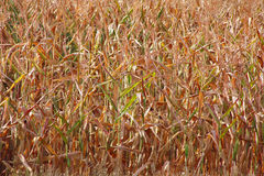 Drought Stricken Corn Stock Images