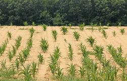 Drought Stricken Cornfield Stock Images
