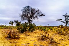 The drought stricken savanna area of northern Kruger National Park. In South Africa royalty free stock image