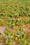 The drought sweet potato Stock Photo