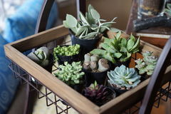 Drought tolerant succulents. This group of drought tolerant succulents displays many shapes, sizes, and growth habits. They are very popular with people who have Royalty Free Stock Image