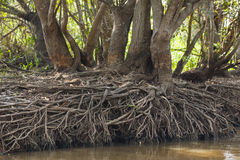 Drought: Tree Trunks with Root Exposure by Riverbank Stock Photos