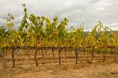 Drought vineyard Royalty Free Stock Images