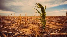 Drougt extrême dans un champ de maïs Photo libre de droits