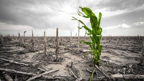 Drougt extrême dans un champ de maïs Photographie stock