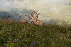 Drove of Capricorns. Herd of Capricorns near summit of Augstmatthorn royalty free stock images