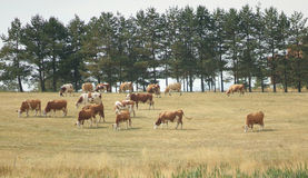 Drove of cows. Landscape with drove of cows stock photos
