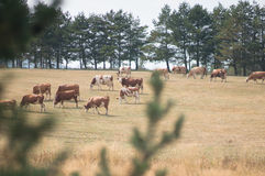 Drove of cows. Landscape with drove of cows royalty free stock photo