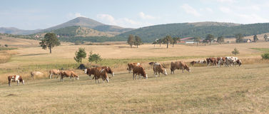 Drove of cows on a meadow Royalty Free Stock Photo