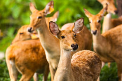 Drove of deer. In wildlife royalty free stock photography