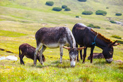 Drove of donkeys. Resting in the green meadow stock image
