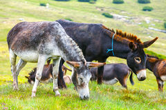 Drove of donkeys. Resting in the green meadow stock photo