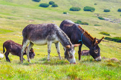 Drove of donkeys. Resting in the green meadow royalty free stock photos
