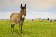 Drove of donkeys. Restingin the green meadow stock photo