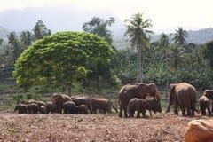 Drove of elephants. A drove of asian elephants in a safari in Sri Lanka Stock Photos