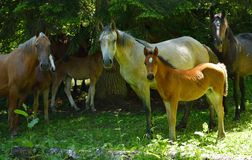 Drove in forest. This is drove of horse in Caucasus mountains in summer royalty free stock photography