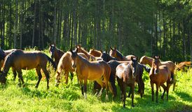 Drove of horse. This is drove of horse in Caucasus mountains in summer royalty free stock photography