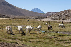 Drove of llamas - Chile Stock Photography