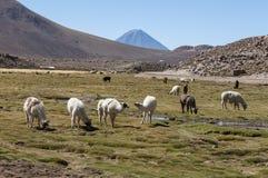 Drove of llamas - Chile. Drove of llamas in the chilean highland near San Pedro de Atacama stock photography