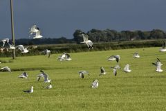 Drove of seagulls. A drove of seagulls above a seaside meadow royalty free stock photos