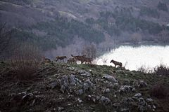 Wolfs herd. A drove of wild wolfs on the lake barrea in italy Stock Photos