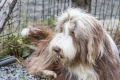 Drover adult outdoors - belgium. Dog bichon adult outdoors - belgium Royalty Free Stock Photos