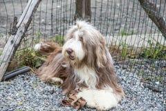 Drover adult outdoors - belgium. Dog bichon adult outdoors - belgium Stock Image