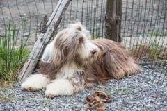 Drover adult outdoors - belgium. Dog bichon adult outdoors - belgium Stock Photos