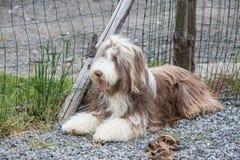 Drover adult outdoors - belgium. Dog bichon adult outdoors - belgium Royalty Free Stock Photo