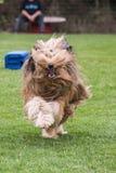 Drover adult outdoors - belgium. Dog bichon adult outdoors - belgium Royalty Free Stock Photography