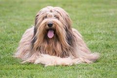 Drover adult outdoors - belgium. Dog bichon adult outdoors - belgium Stock Photography