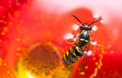Drown wasp in a wine Stock Image