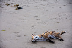 Drowned fox. Washed up on the beach at Morecambe stock photo