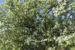Drowned Land of Saeftinghe. Flowering Prunus tree at Drowned Land of Saeftinghe stock image
