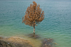 Drowned  pine wood  in the lake rotting 02 Stock Photography