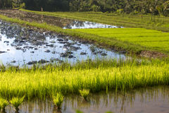 Drowned rice field. With young plantations in lombok, indonesia Royalty Free Stock Image