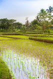 Drowned rice fields. With young rice plants in lombok, indonesia Stock Photos