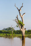 Drowned trees in the reservoir at Udawalawe national park, Sri L Stock Photography