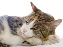 Drowsing cat. Isolated on white Royalty Free Stock Photo