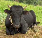 A drowsy bull relaxing in the tropics Stock Images
