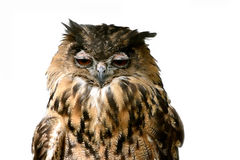 Drowsy eagle owl Royalty Free Stock Image