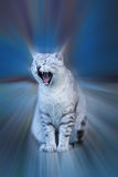 Drowsy gray cat. Drowsiness concept: gray cat yawning. The effect is emphasized by motion blur Stock Photo